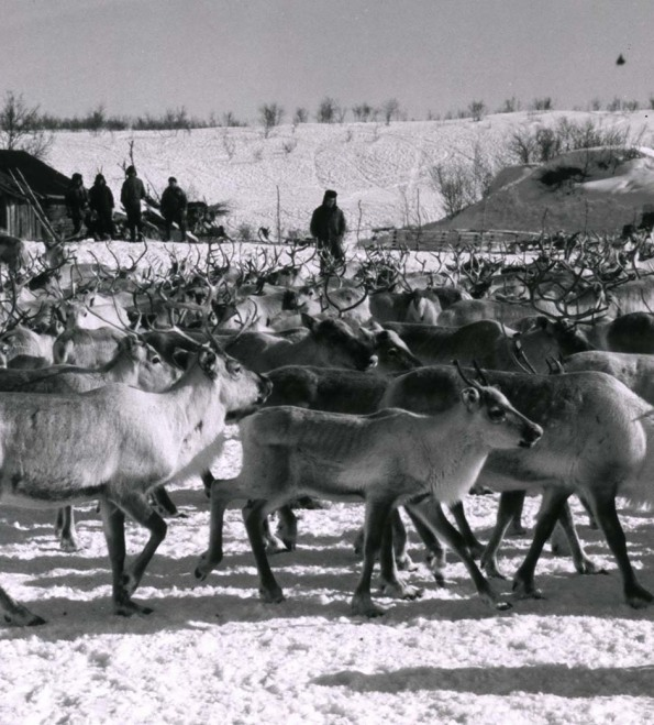 Herd of reindeer walking through the snow